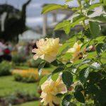 A.Rue-Loiret-Rose-jaunes-jardin