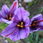Fleur de safran - ADRTL