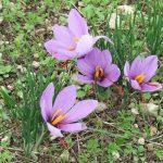 Fleur-de-safran-OTP4-3