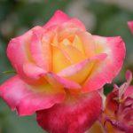 Rose RC 1